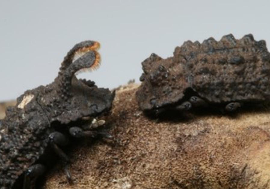Forked fungus beetles