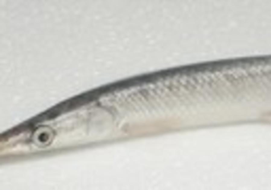 SPOTTED GAR predator fish