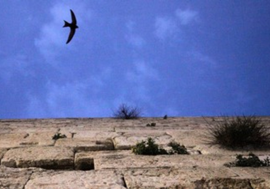 Swifts bird at Western Wall