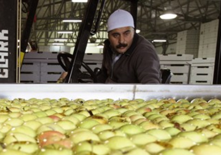 Druse worker inspects apples in Buq'ata