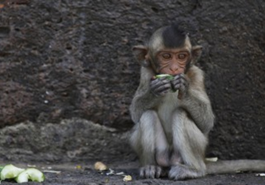 Baby long-tailed macaque monkey (illustrative)