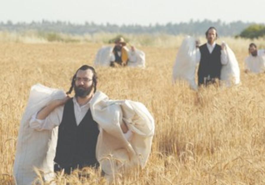 Haredim carry wheat-filled sacks for Pesah