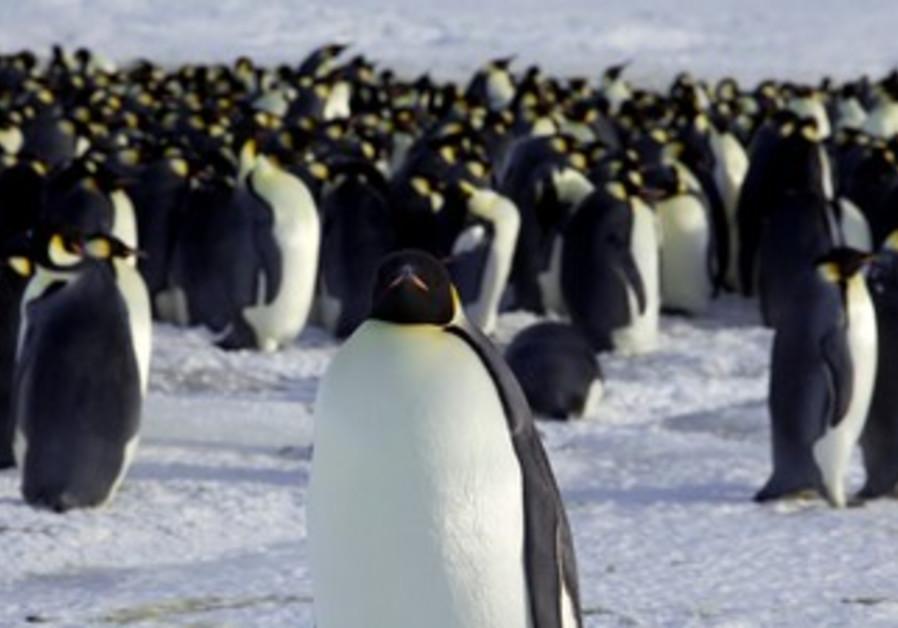Emperor penguins in Dumont d'Urville, Antarctica