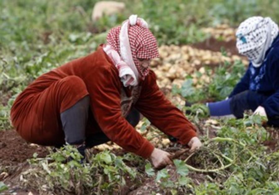 Palestinian potato farmers [file]