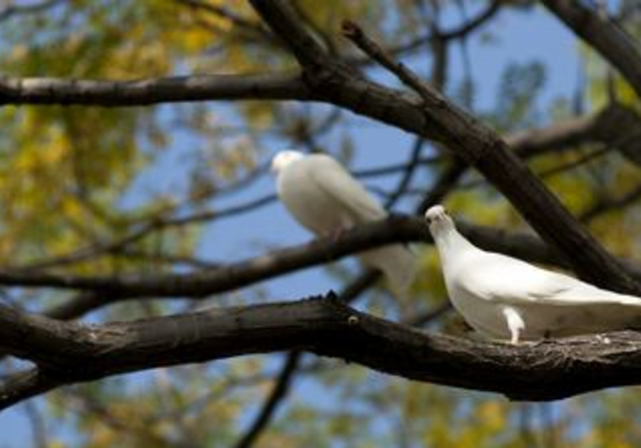 White dove on a tree