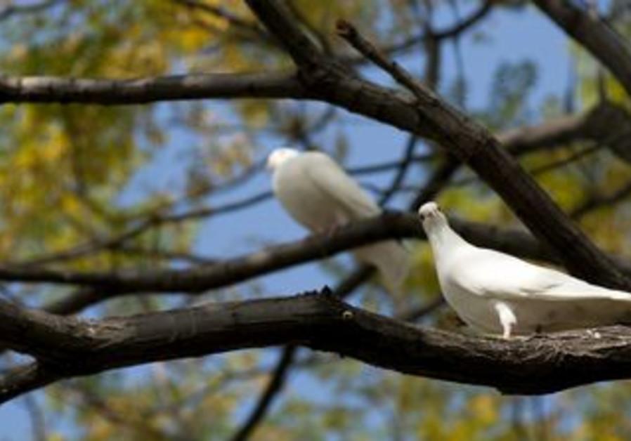 White dove on a tree