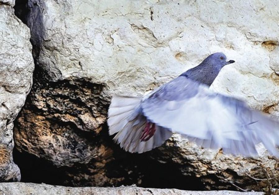 pigeon/Naso