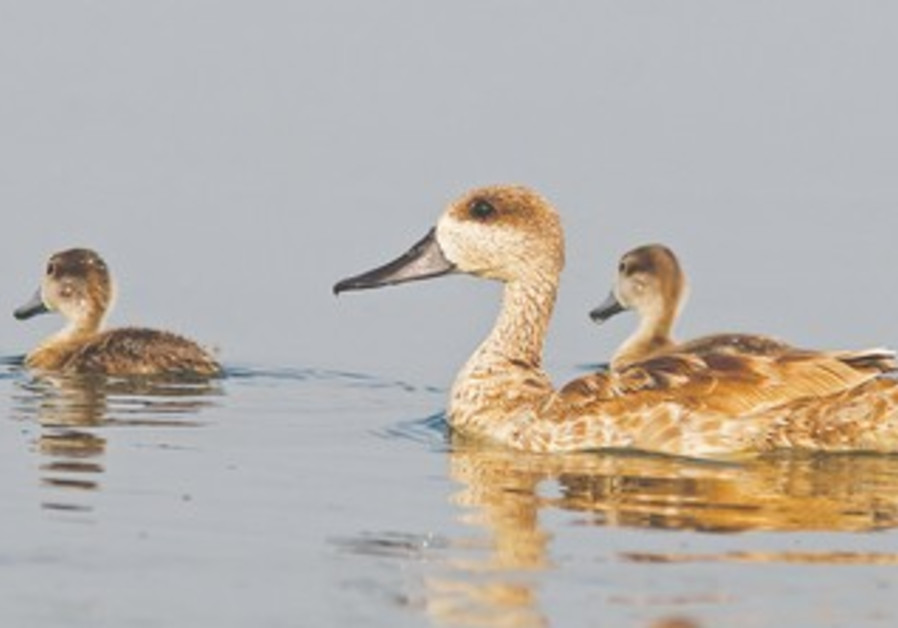 Marbled ducks