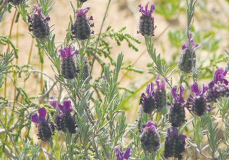 French Lavender in Israel.
