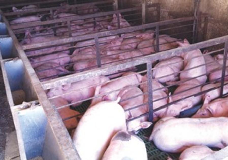 Abused pigs in galilee raid 370