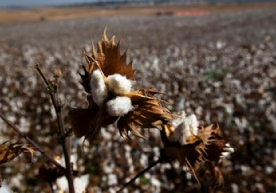 Cotton harvest in the South