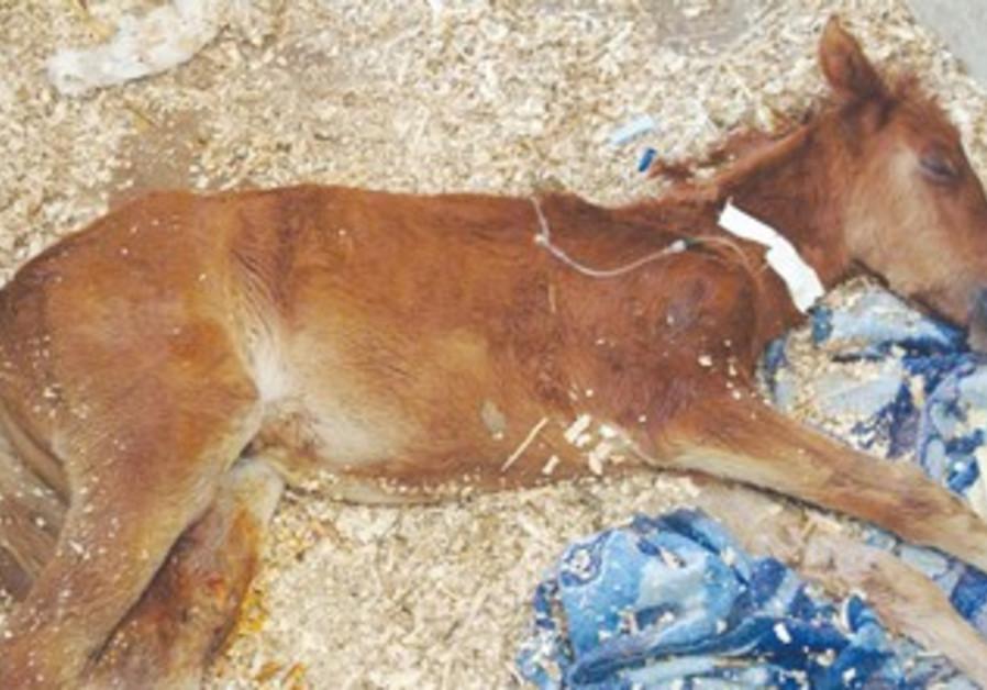 Foal kept at secret shelter by SPCA