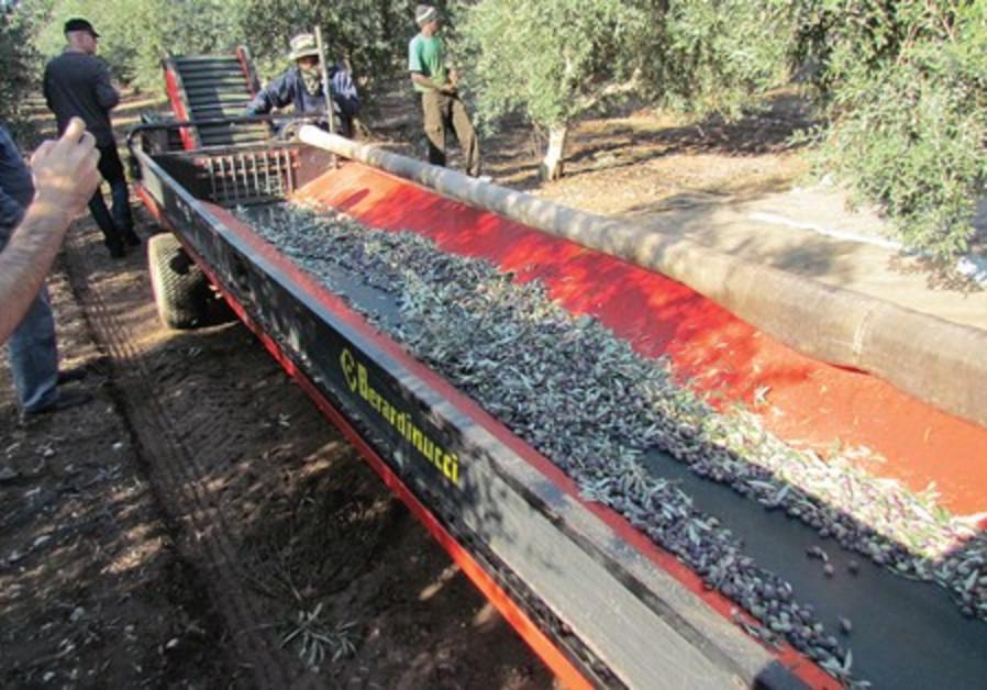Workers harvest olives.