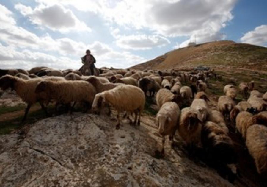 Sheep in E1 outside of Jerusalem