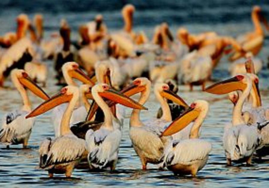many pelican birds sit in hula lake 298.88