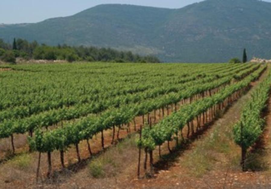 Kayoumi vineyard