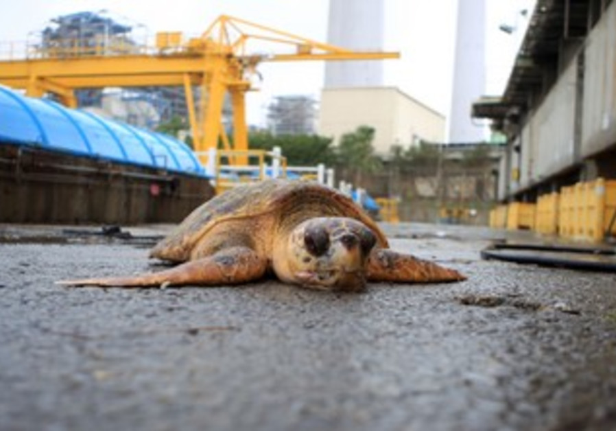 Sea turtle drifts into Hadera plant, Jan 2013