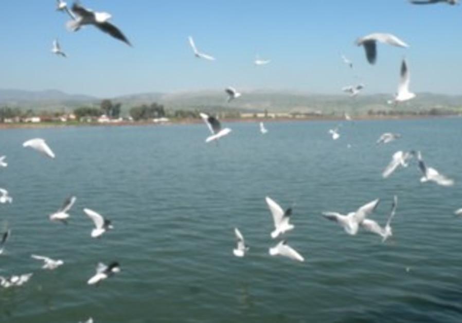 Black-headed gulls over the kinnere