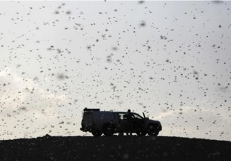Locusts fly near a car belonging to experts as they map the swarm in the Negev, March 5, 2013