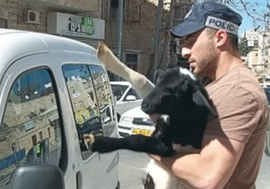 A POLICEMAN holds a lamb that was meant for a Passover Sacrifice in Jerusalem