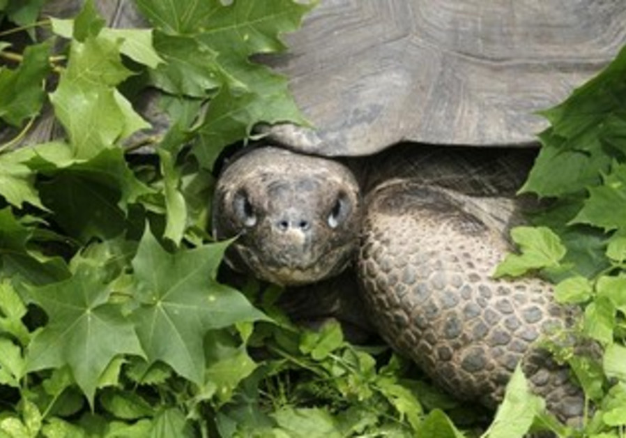 A Galapagos giant tortoise is pictured during its annual weighing at Riga Zoo July 12, 2012.