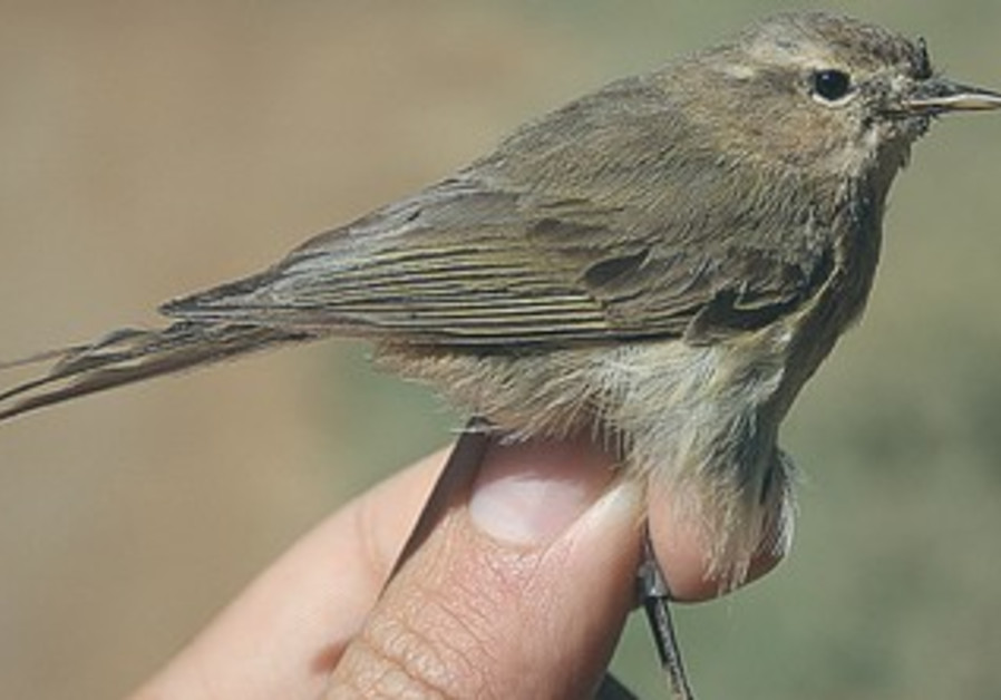A chiffchaff is nesting in a remote valley in the Hermon region.
