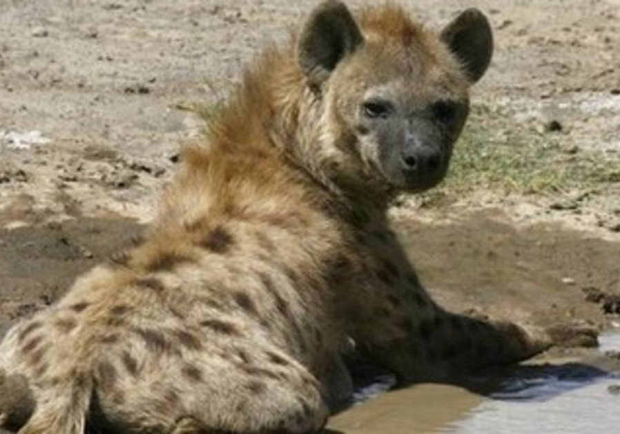 A hyena cools itself in a muddy puddle.