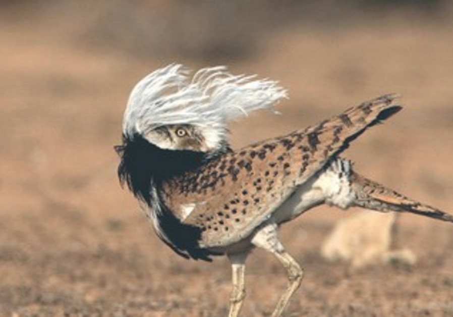 The endangered Houbara bustard.