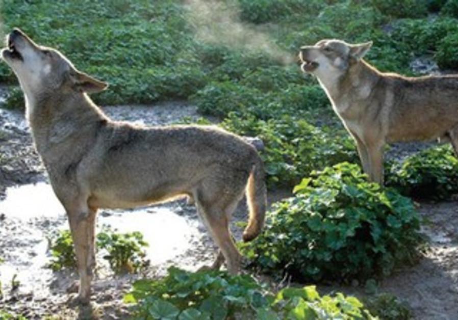 Moshe Alpert's 'A Wolf's Tale'