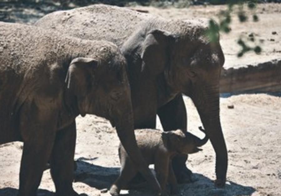 A new-born Asian elephant