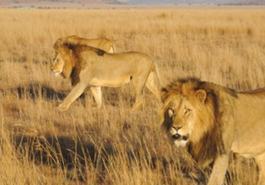 Lions roam in the Nambiti Private Game Reserve.