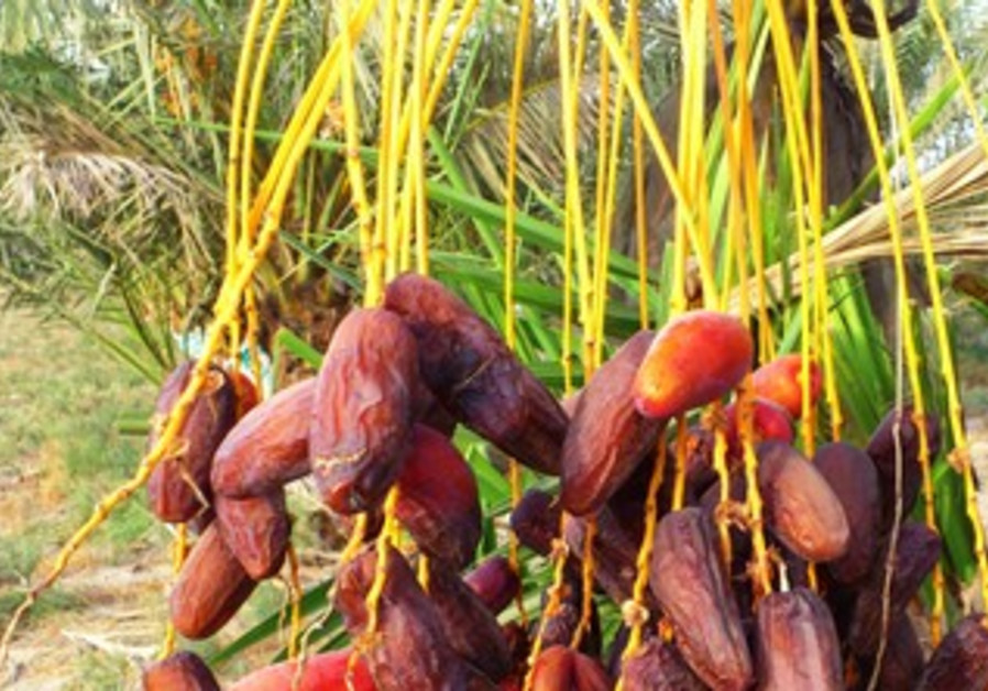 "Enormous dates of the ""Avraham"" variety."