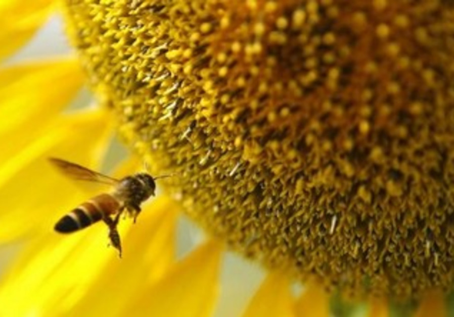 A bee flies near a sunflower.