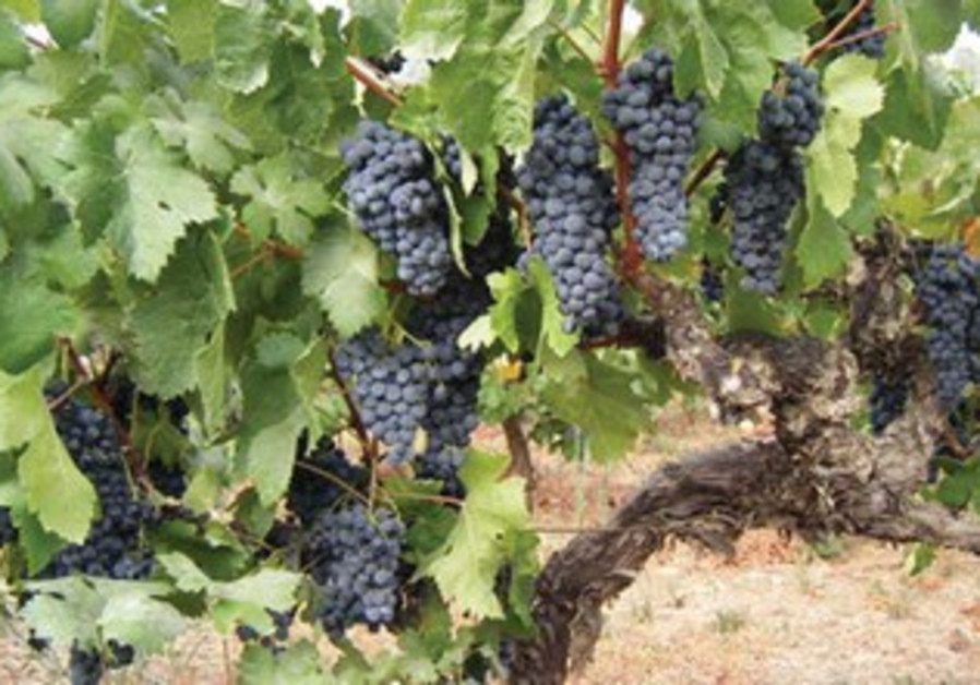 Carignan, the first international variety planted in Israel.