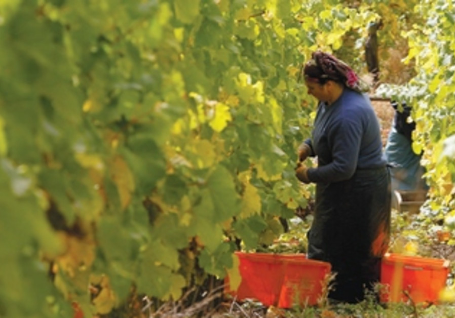 Riesling grapes are harvested in a vineyard in Rhoendorf near Bonn October 19, 2012.