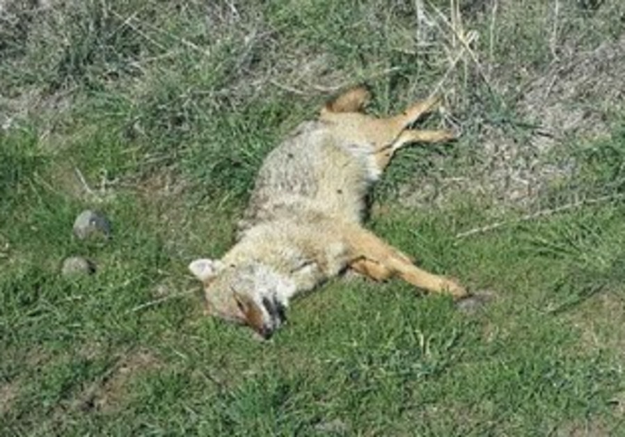 Dead jackal in the Golan.