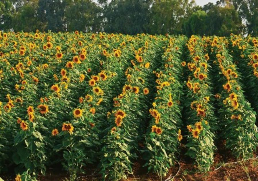 The majestic sunflower