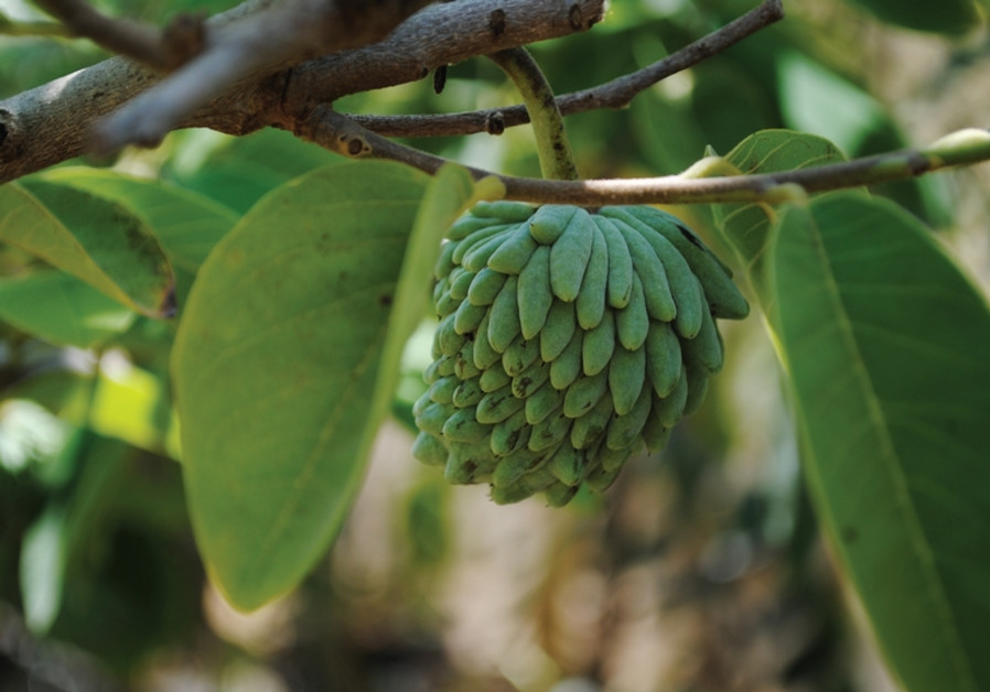 Cherimoya exotic fruit