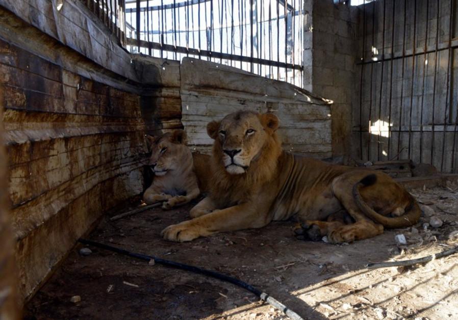 Gaza lions