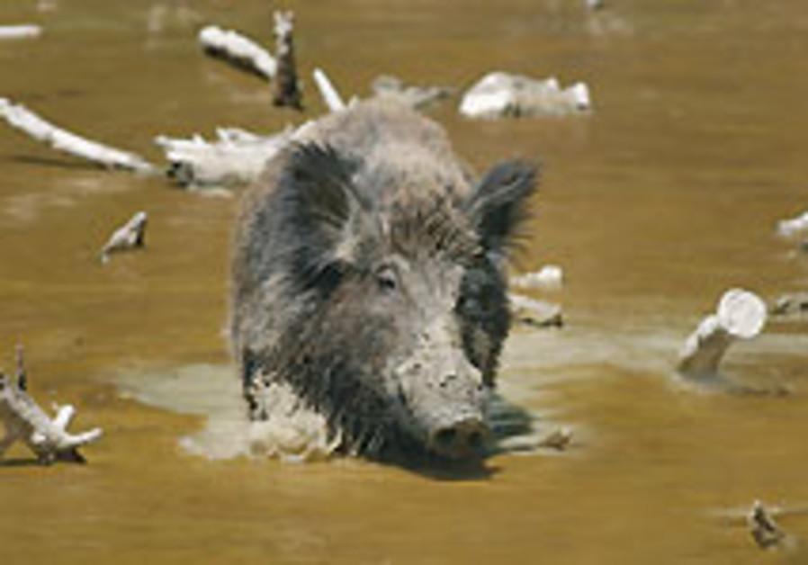 Man vs pig
