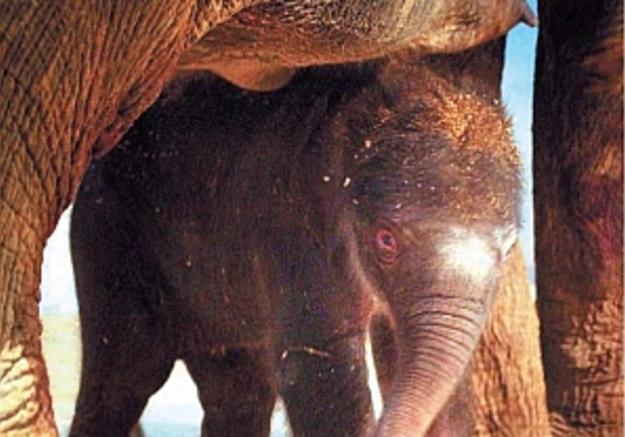newborn elephant in j'lem zoo