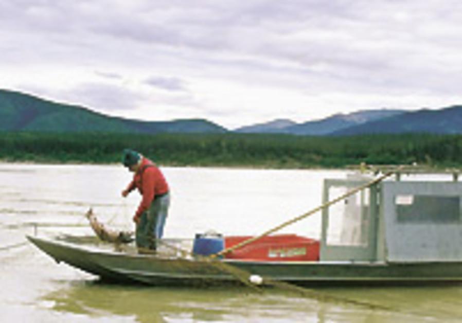 King salmon vanishes in Alaska, smokehouses empty