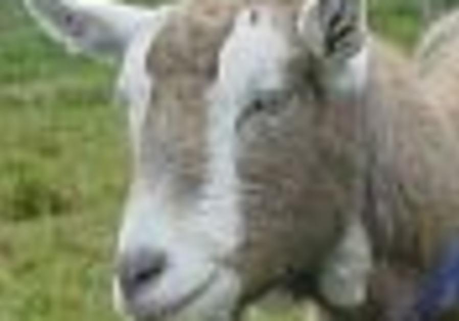 goat 88