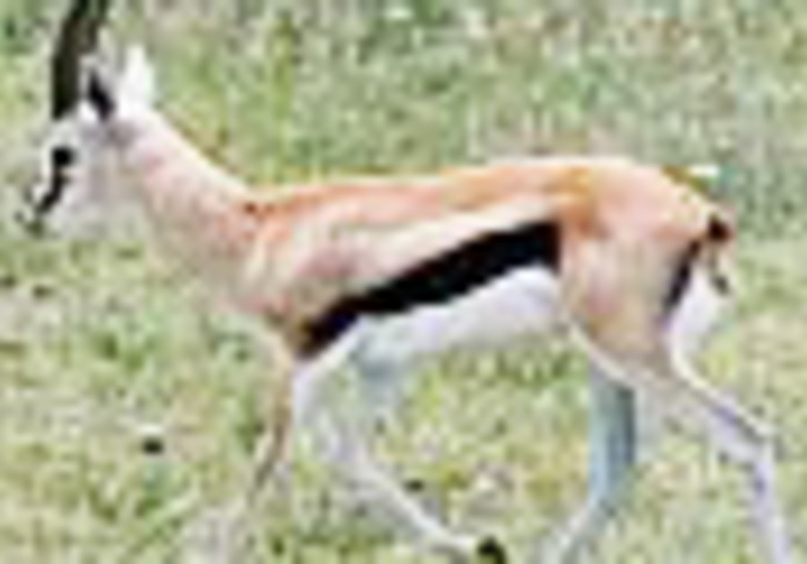 Gazelle crossing