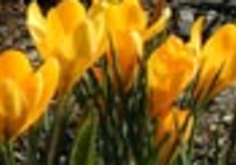 crocus saffron flower 88