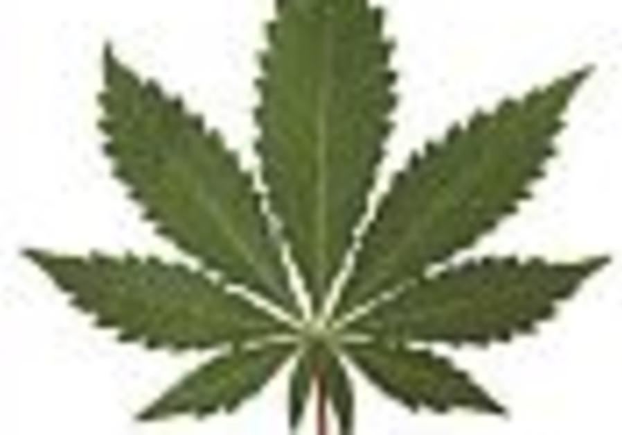 Bat Yam hospital seeks to import medical-grade marijuana from Holland