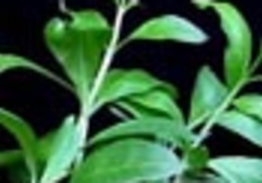 henna plant 88