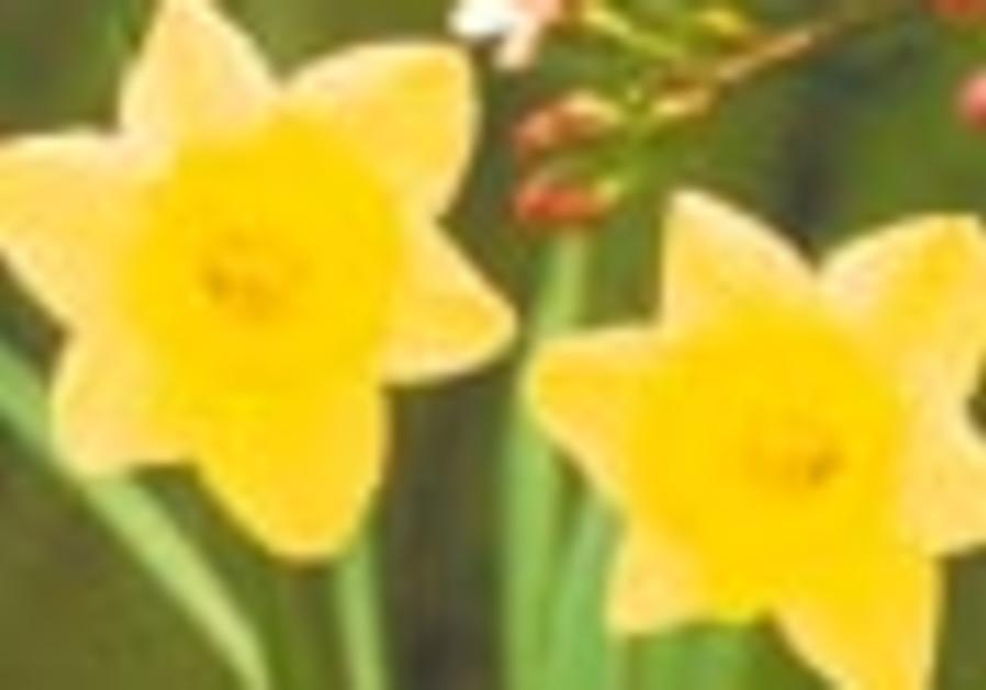 daffodiles 88