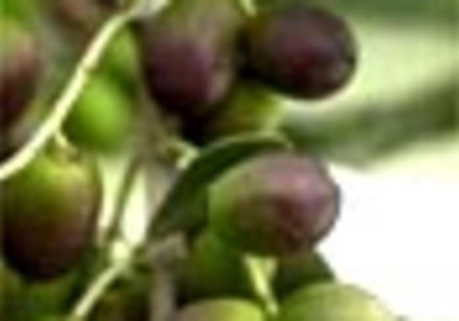 olives 88