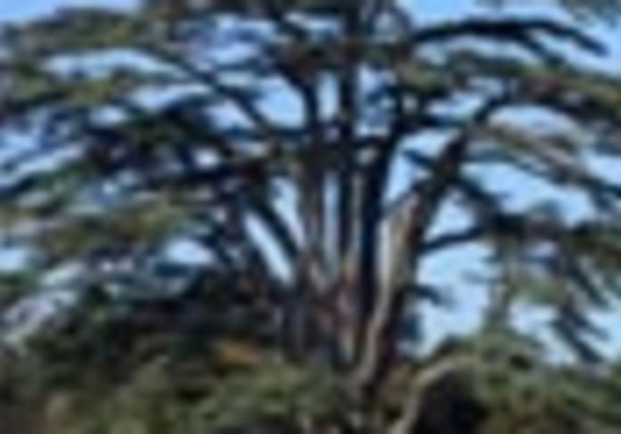 cedar tree 88